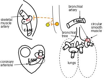 Small Intestine And Colon Diagram
